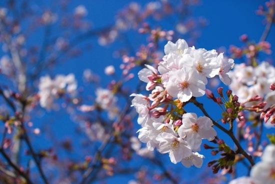 【春の便りをお届けします】福島 南相馬市から