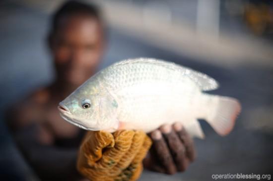 オペレーション・ブレッシングは、ティラピアという魚の養殖を通じてハイチの復興のお手伝いをしています。